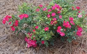 drift roses drift picture gardenality drift gardening guide