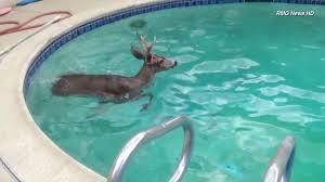 Pool In Backyard by Deer Goes For Swim In Backyard Pool At Encino Home Ktla
