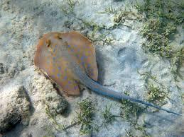 ray fish britannica com
