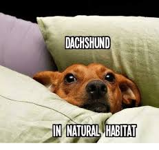 Dachshund Meme - dachshund in natural habitat meme on me me