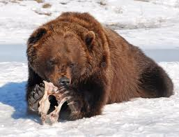 grizzly claws hungry grizzly stock photo image of alaska grizzly 57713506