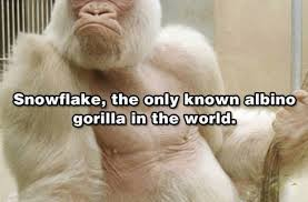 Albino Meme - albino gorilla funny pictures quotes memes funny images funny