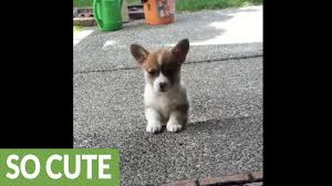 corgi puppy attempts to adorably climb steps for the first time