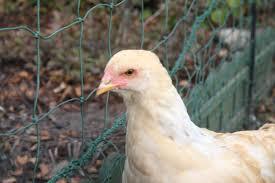 trying to my 13 week brahma lemony snicket backyard chickens