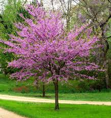 cercis canadensis eastern redbud eastern redbud small trees