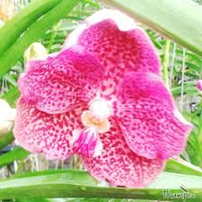 vanda orchid light pink dotted vanda orchid thumpi