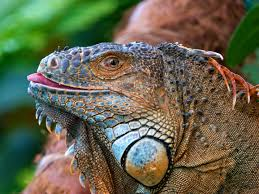 88 best lizards images on pinterest lizards iguanas and animal