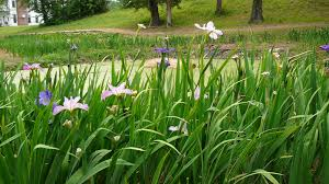 south texas native plants world of irises what are louisiana irises and can i grow them