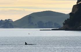 killer whales approach new zealand swimmers in viral beach video