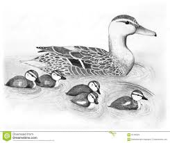 drawn duck water drawing pencil and in color drawn duck water