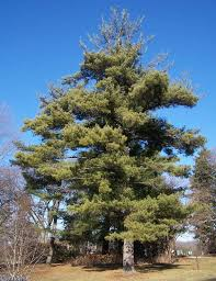 white pine tree eastern white pine tree pinus strobus