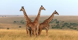 some giraffes may be closer to extinction than you realize huffpost