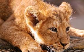 imagenes de leones salvajes gratis animales leones fauna animales bebés wallpaper fondos de pantalla gratis