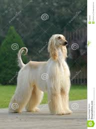 afghan hound dog pets afghan hound stock photos image 7685033
