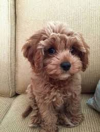 shichon haircuts image result for maltipoo yorkie mix puppies pinterest dog