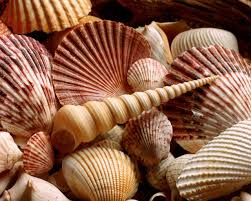 shells free download clip art free clip art on clipart library