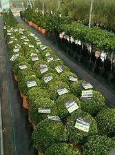 English Box Topiary - box plants ebay