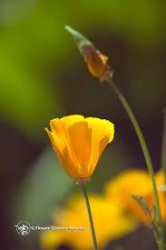 California Poppy California Poppy True Gold Is In The Heart