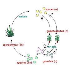 Life Cycle Of A Flowering Plant - plant genetics an introduction to the life cycle of plants