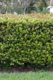 native plants for hedging native plants make good hedges u2014 usually miami herald