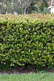 native hedgerow plants native plants make good hedges u2014 usually miami herald