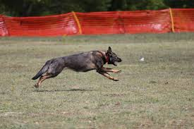 belgian malinois puppies for sale 2016 camelot german shepherds camelot german shepherds german
