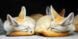51 images about fennec foxes on we heart it see more about fox