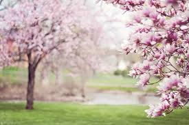 pink cherry blossom tree free stock photo