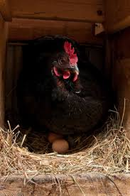 696 best chickens u0026 other barnyard fowl images on pinterest