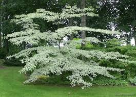 wedding cake tree cornus controversa variegata kilcannon garden centre