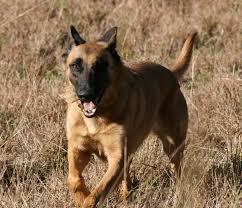 belgian sheepdog malinois file a female belgian shepherd malinois jpg wikimedia commons