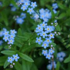 free images flower pet wildflower forget me not gentle yarrow