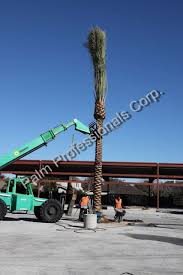 82 best medjool date palm trees images on