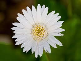 Daisy The Flower - april birth flower daisy proflowers blog