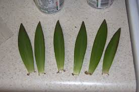 propagating asiatic lilies from leaves growing the home garden