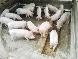 pig production and marketing uganda limited