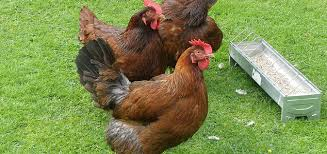 Chickens For Eggs In Backyard 7 Chicken Breeds That Do Well In Cold Climates