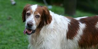 irish setter male dog names irish red and white setter information characteristics facts names