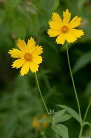 mail order native plants coreopsis pubescens plants
