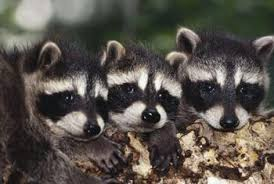 How To Get Rid Of Raccoons In Backyard How To Keep Raccoons Away From Your House Home Guides Sf Gate