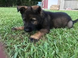 Light Sable German Shepherd Purebred German Shepherd Puppies For Sale U2013 Louisiana Cajun Mansion