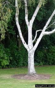 silver birch tree for sale betula pendula
