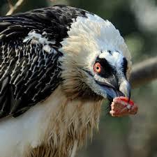 Seeking Vulture Endangered Bearded Vulture Born In Cazorla Nature Reserve