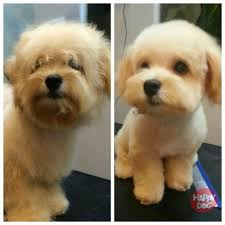 Dog Grooming Styles Haircuts Top 10 Photo Of Maltipoo Hairstyles Floyd Donaldson Journal
