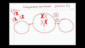 meoisis independent assortment of homologous chromosomes youtube