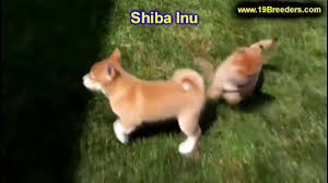 shiba inu puppies dogs for sale in chicago illinois il