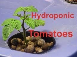 Herb Garden Winter - hydroponic tomatoes 4 micro varieties and my indoor winter garden