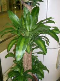 Fragrant Indoor Plants Low Light - dracaena fragrans corn plant our house plants