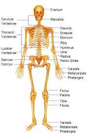 Anatomy Of The Human Body Bones The Human Skeleton Bones U2013 Cultua Info