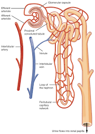 Urinary Tract Anatomy And Physiology 25 3 Gross Anatomy Of The Kidney Anatomy And Physiology
